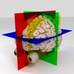 gendered brein